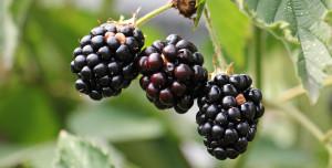 blackberries-1539540_1920